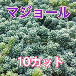 【多肉を育ててみませんか❤️ちまちま寄せに】マジョール カット10本 送料無料(その他)