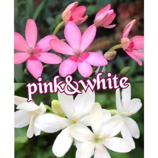 ヒメヒオウギ ピンク&ホワイト(その他)