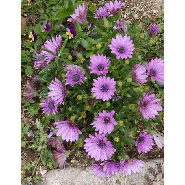 🌸オステオスペルマム薄紫色挿し穂4本 ハンドメイドのフラワー/ガーデン(プランター)の商品写真