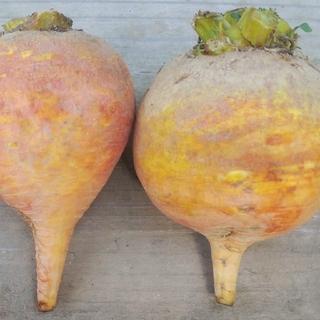 イエロービーツ3.0kg(農薬化学肥料不使用)(野菜)