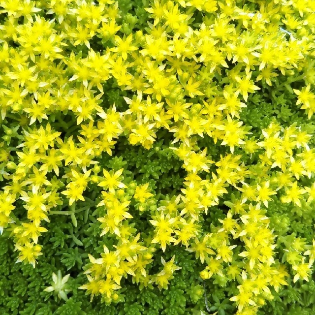 多肉植物 セダム&子持ち蓮華 ハンドメイドのフラワー/ガーデン(プランター)の商品写真