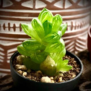 ぷくぷく☺子付 美しいグリーン窓☘ハオルチア☀多肉植物✿ウンブラティコラ❂抜き苗