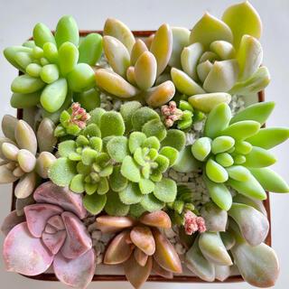 多肉植物カット苗セット 寄せ植え 詰め合わせ