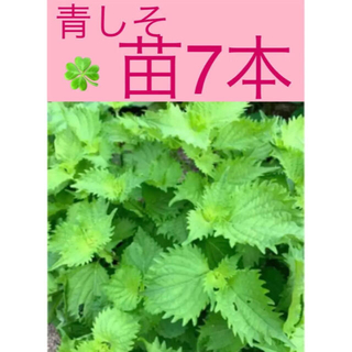 大葉 しそ 苗 根付き 大苗から小苗まで 7苗 種から育てた 無農薬野菜 青しそ(野菜)