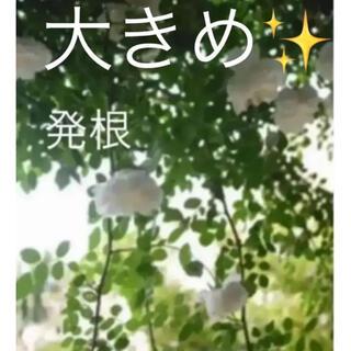 大きめ✨(ᵔᴥᵔ)アルベリックバルビエ♡(ホワイトガーデン アンティーク(その他)