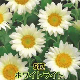 ひまわり ホワイトライト 種 5粒(その他)
