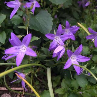 カンパニュラ アルペンブルー 1苗 多年草 蕾付き 花付き(プランター)