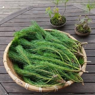 【完全無農薬/即日発送】 〈赤松〉新芽  松の葉 1kg