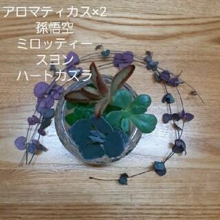 アロマティカス×2☆他多肉植物カット苗(プランター)
