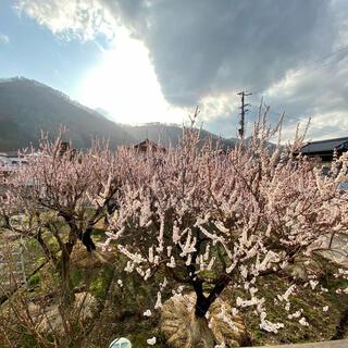 杏3キロ🍑生食可能 即落札可能 着払いにて🙇♂️雹天候被害有り(フルーツ)