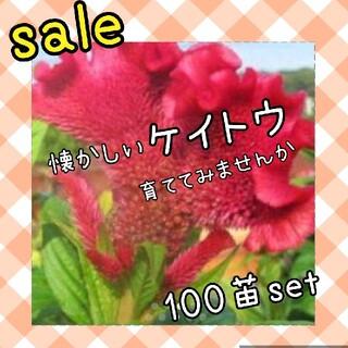 ケイトウ 小苗×100苗(その他)