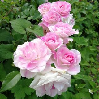 ピンクアイスバーグ バラ苗 バラ 薔薇 ばら バラ苗(プランター)