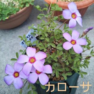 ☆超レア☆オキザリス カローサ 球根 6個 Callosa(その他)