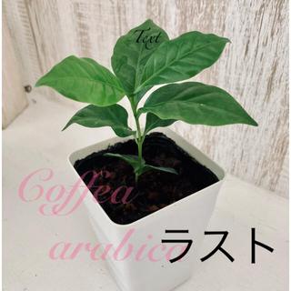観葉植物 コーヒーの木 アラビカ コーヒーの苗(プランター)