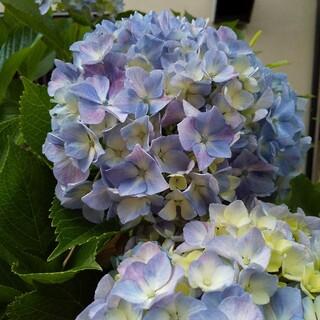 手毬咲き紫陽花挿し木用3本(プランター)