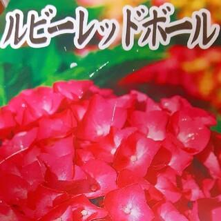 紫陽花  アジサイ  二種  ルビーレッド  額アジサイ(その他)
