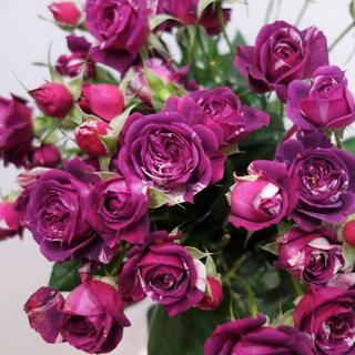 バラ 苗 センティッドジュエル (センテッドジュエル) 薔薇 (その他)