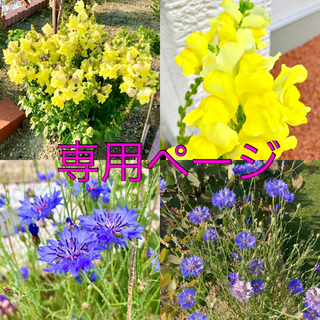 矢車草【青紫、薄紫】金魚草【黄色】種(プランター)