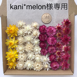 【kani*melon様専用】貝細工 ヘリクリサム ドライフラワー(ドライフラワー)