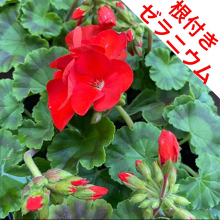 ☆目に鮮やか❗️根付き☆ゼラニウム☆オレンジ系レッド☆(プランター)