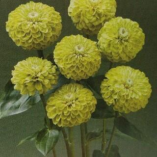 花の種       ジャイアントライム+ゴールドスティック(その他)