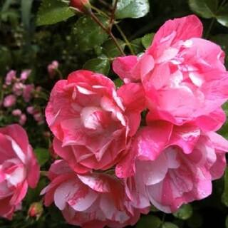 薔薇苗 ピンクスプラッシュ(その他)