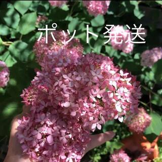Bポット発送(ᵔᴥᵔ)♡アナベル ピンク♡発根苗♡可愛いお庭♡ドライフラワー(その他)