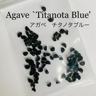 Agave Titanota Blue☆アガベチタノタブルー種子10粒発芽確認済(その他)