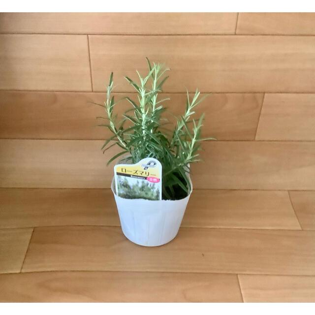 ハーブ苗 ローズマリー 立性 ハンドメイドのフラワー/ガーデン(その他)の商品写真
