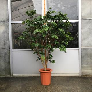ジャボチカバ 大葉種 実付き(フルーツ)