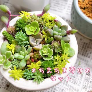 ちまちま寄せセット♡①【6/27or28発送予定】カット苗 多肉植物(その他)