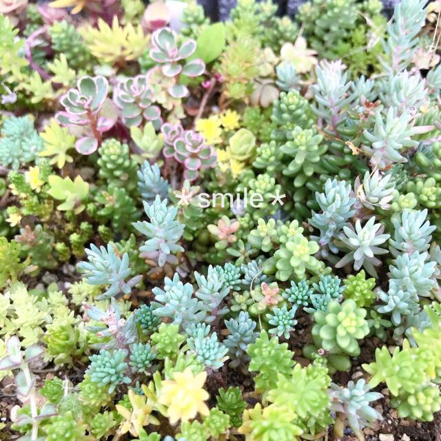 多肉植物 セダム クラッスラ 30種類 カット苗 ハンドメイドのフラワー/ガーデン(その他)の商品写真