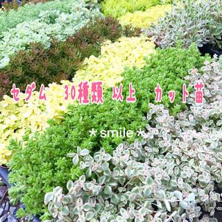 多肉植物 セダム クラッスラ 30種類 カット苗(その他)