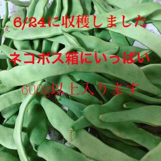 ジャンボインゲン 600g(野菜)