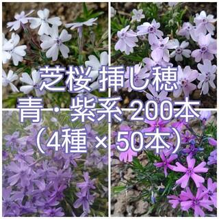 芝桜 挿し穂 青・紫系 200本(4種×50本)(その他)