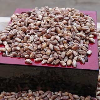 紫もち麦1kg(ダイシモチ)令和3年産(米/穀物)