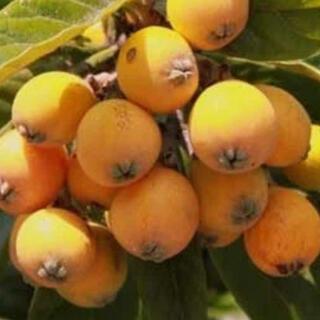 枇杷 びわ フルーツ 詰め合わせ まとめ売り 大量 無農薬(フルーツ)