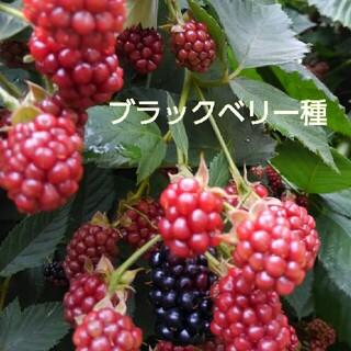 五百円玉位の実なる ブラックベリー種(プランター)