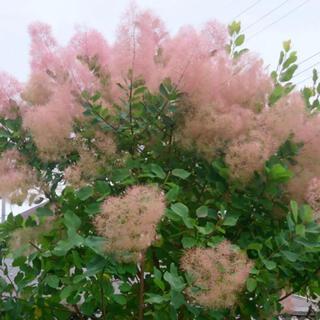 スモークツリー ピンク〜レッド花 緑葉 挿し木用挿し穂 3本(その他)