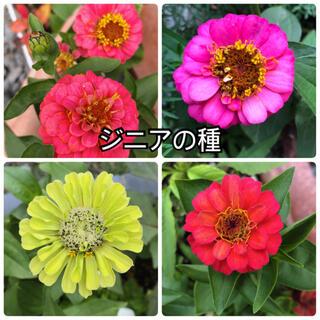 ジニアの種 ぽんぽん咲き ダリア咲き(その他)