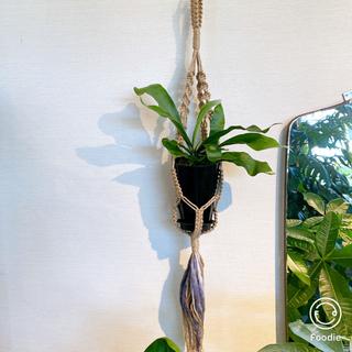 【送料込】* コウモリラン * 黒色器  壁掛け 観葉植物 #アーキレイ(その他)