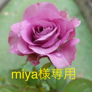 ミニ薔薇 フォーエバー珍しい青系花 (その他)