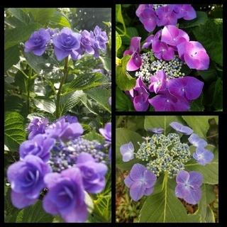 アジサイ3種6本 ブルー八重2本 一重2本、赤紫一重2本 挿し穂用ラクマパック (プランター)