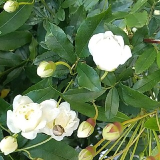 モッコウバラ 白 カット苗10本(プランター)
