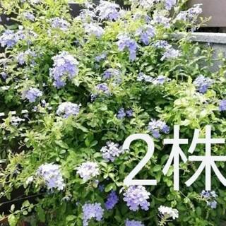 ルリマツリ 苗 1株 +オマケ1株♪  ②(その他)