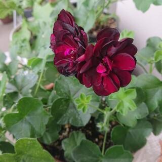 アイビー ゼラニウム🌺 トミー🌺超八重咲き   挿し穂 2本 蕾(プランター)