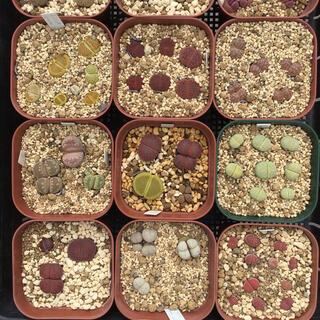 リトープス ミックス種子(2021年度産)(その他)