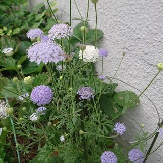 花種    ブルーレースフラワー(その他)