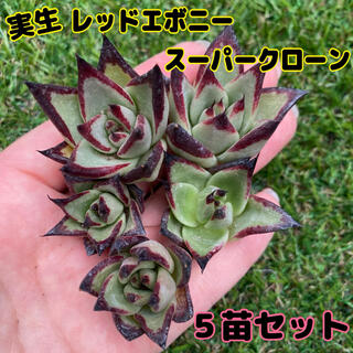 多肉植物 実生レッドエボニースーパークローン5苗セット(その他)