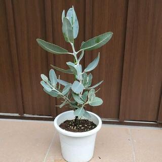 シルバーグリーンの大きな葉のユーカリ♪プレウロカルパ 鉢植えオージープランツ希少(プランター)